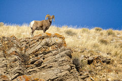 Bighorn sheep ram on rocky cliff overlook with grass and blue sk Royalty Free Stock Photos