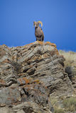 Bighorn sheep ram on rocky cliff overlook with grass and blue sk Stock Photo