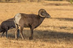 Bighorn Sheep Ram. A rocky mountain bighorn sheep ram in a meadow Stock Images