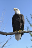 Bald Eagle on tree branch with blue sky Royalty Free Stock Photography