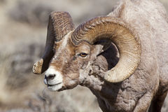 Bighorn sheep ram in rut. This Big Horn sheep ram is in rut and sniffs for the ewe while browsing on the dry autumn grass Royalty Free Stock Images