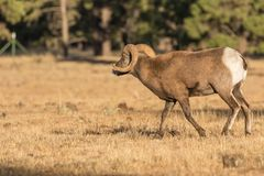 Bighorn Sheep Ram in Rut Stock Image
