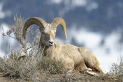 Bighorn Sheep ram,  between sage on ridge, wintertime Royalty Free Stock Photo