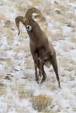 Bighorn sheep ram in strke mode for head butting during rut Stock Images