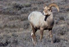 Bighorn Sheep. A bighorn ram walking through the sagebrush royalty free stock image