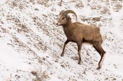 Bighorn Sheep Ram in Winter in Badlands National Park Stock Photo