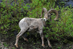Bighorn Sheep Ram in Yellowstone National Park in Wyoming Royalty Free Stock Image