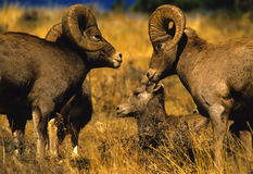 Bighorn Sheep Rams. A group of bighorn sheep rams during the fall rut Royalty Free Stock Images