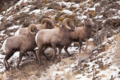 Bighorn Sheep rams. The lead ram of the Bighorn Sheep band is dominate and is in control of all the rams and ewes. They survive in the rugged and sharp volcanic stock photography
