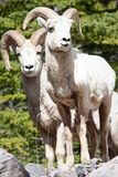 Bighorn sheep Rams Stock Images