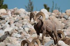 Bighorn sheep rams Stock Photos