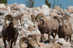 Bighorn sheep rams. Colorado, Rocky Mountain National Park, Taken 06.15, Copyright David Hoffmann stock photos