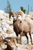 Bighorn sheep rams Royalty Free Stock Photos