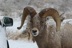 Bighorn sheep ram in Grand Teton National Park Winter. Bighorn sheep rams in Grand Teton Naitonal Park in winter.  National Elk Refuge Royalty Free Stock Image