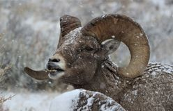 Bighorn sheep ram in Grand Teton National Park Winter.  Lip curl. Bighorn sheep rams in Grand Teton Naitonal Park in winter.  National Elk Refuge. Lip curl Stock Photos