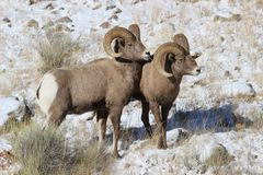 Bighorn sheep rams in Grand Teton National Park Winter. Bighorn sheep rams in Grand Teton Naitonal Park in winter.  National Elk Refuge Stock Photos