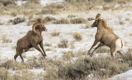 Bighorn sheep rams head butting during rut Royalty Free Stock Images
