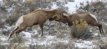Bighorn sheep rams head butting during rut in the autumn of year Stock Photo