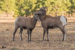 Bighorn Sheep Rams During the Rut Stock Image