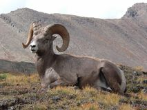 Bighorn Sheep Resting stock image