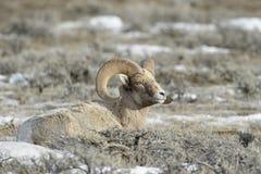 Bighorn Sheep resting between sage Stock Photo