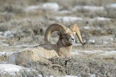 Bighorn Sheep resting between sage Stock Images