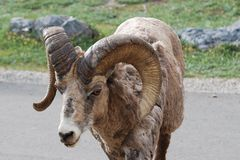 Bighorn Sheep on road Royalty Free Stock Photography