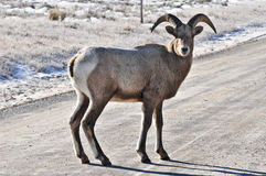 Bighorn Sheep Royalty Free Stock Image