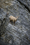 Bighorn Sheep on rock face. A bighorn sheep finds refuge from predators in the pouring rain on a steep rock face, in the Canadian Rocky Mountains along the Royalty Free Stock Photography