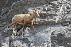 Bighorn Sheep on a Rock Precipice Stock Image