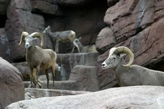 Bighorn sheep between the rocks Royalty Free Stock Photo