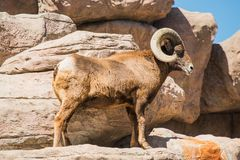Bighorn Sheep on the Rocks Royalty Free Stock Photo