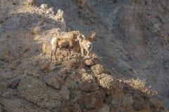 Bighorn Sheep in Rocks Stock Photos