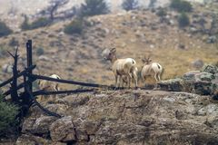 Bighorn sheep on rocks in Wyoming Royalty Free Stock Images