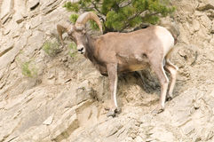 Bighorn sheep on rocky hillside Royalty Free Stock Photos