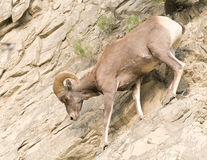 Bighorn sheep on rocky hillside Royalty Free Stock Images