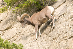 Bighorn sheep on rocky hillside Stock Image