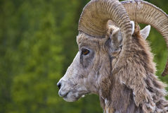 Bighorn sheep in the Rocky Mountains Stock Image