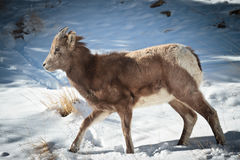 Bighorn Sheep. In the Rocky Mountains of Colorado Royalty Free Stock Images