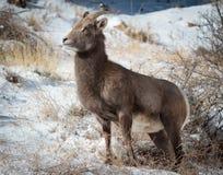 Bighorn Sheep. In the Rocky Mountains of Colorado stock photos
