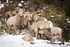 Bighorn Sheep. In the Rocky Mountains of Colorado royalty free stock photography
