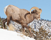 Bighorn Sheep. In the Rocky Mountains of Colorado stock photography