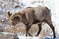 Bighorn Sheep. In the Rocky Mountains of Colorado Stock Images