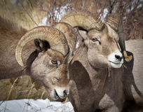 Bighorn Sheep. In the Rocky Mountains of Colorado Stock Photo