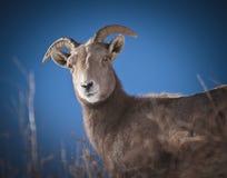 Bighorn Sheep. In the Rocky Mountains of Colorado Stock Photo