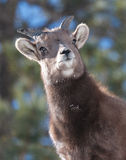 Bighorn Sheep. In the Rocky Mountains of Colorado royalty free stock image