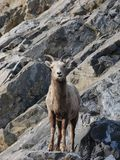 Bighorn Sheep on rocky slope Royalty Free Stock Photos