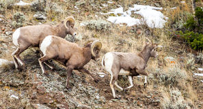 Bighorn Sheep During Rut. Two Large Male Rocky Mountain Bighorn Sheep Stalking Lone Female During The Rut royalty free stock photo