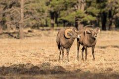 Bighorn Sheep Rutting in Fall Royalty Free Stock Photos