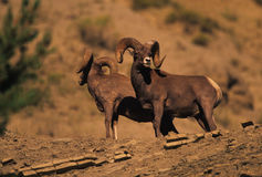Bighorn Sheep on Shale. Two nice bighorn rams standing in loose shale rock Royalty Free Stock Images